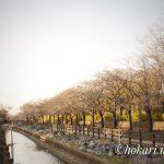 Cherry blossom trees on Soka Park side @SOKA / そうか公園側の桜並木 @草加