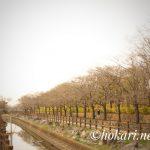 Cherry blossom trees on Soka Park side @SOKA No.2 / そうか公園側の桜並木 @草加 No.2