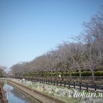 Cherry blossom trees on Soka Park side @SOKA No.3 / そうか公園側の桜並木 @草加 No.3